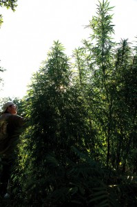 GREEN ACRES - Following up on a tip Tuesday, Sgt. Investigator Chad Lanier with the Wise County Sheriff's Office discovered the largest marijuana grow operation he's seen in the county in eight years. Messenger photo by Joe Duty