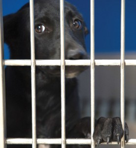 BLACK DOG SYNDROME - Animal shelter workers throughout the nation have noticed that black dogs and cats are much less likely to get adopted than their fairer counterparts. Messenger photo by Joe Duty