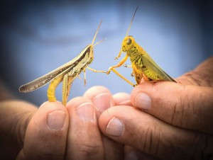 GATHERING HORDES - Last year's drought allowed unprecedented numbers of grasshoppers to successfully lay eggs in the dry soil. This year farmers, gardeners and homeowners are dealing with trees, shrubs, vegetable gardens and grass fields stripped bare. Messenger photo by Joe Duty