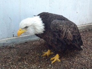 BROKEN WING - This downed eagle is being rehabilitated at a local veteranian's office after suffering two broken bones in its right wing. They hope to release it back into the wild next month if it makes a full recovery. Submitted photo