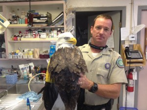 WING MAN - Wise County Game Warden Chris Dowdy holds up a bald eagle that suffered a broken wing when it was hit by a car in Jack County. Dowdy worked with Jack County Game Warden Gary Hobbs to rescue the injured eagle. Submitted photo