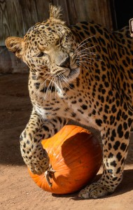 PLAYING WITH PUMPKINS - Milo, a spotted leopard, toys with a pumpkin. Visitors to CARE's Fall Fest will get the chance to see tiger tug-of-war, big cat feedings, a pair of lion cubs and enjoy a host of games for kids, enter a raffle and learn all about the big felines. Messenger photo by Joe Duty