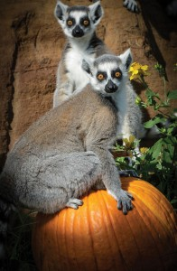 PUMPKINS AND STRIPES - A troop of festive lemurs awaits visitors to the Center for Animal Research and Education (CARE) in Bridgeport during the Fall Festival that continues over the next three weekends. Messenger photo by Joe Duty