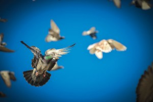 FLIGHTS OF FANCY - Despite being released in the wild hundreds of miles from their home, pigeons have an uncanny knack of finding their way back time and time again. The reason why still perplexes scientists. Messenger photo by Joe Duty