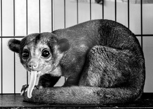HONEY BEAR - The kinkajou, also known as a honey bear, discovered south of Decatur in rural Wise County Sunday is making its home at the Wise County Animal Shelter until officers there can find a permanent home for the animal in a sanctuary. Messenger photo by Joe Duty
