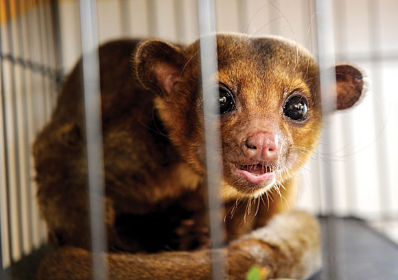 KINK-A-WHAT - A couple found a creature in their carport Sunday that turned out to be a kinkajou, a relative of the raccoon native to Central and South America. Messenger photo by Joe Duty