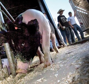 PAYING FOR PORK - Last year only 13 hogs out of about 200 entered in the Youth Fair went on the truck after the sale Saturday afternoon. In recent years, more exhibitors, especially those with steers and hogs, have taken their animals home or sold them to individuals instead of the packer. The trend contributed to the Youth Fair board's decision to change the annual auction to a premium sale. Messenger photo by Joe Duty