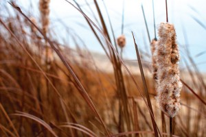 STANDING TALL - Wet with dew, Cattails wave back and forth in the morning breeze. Messenger photo by Jimmy Alford
