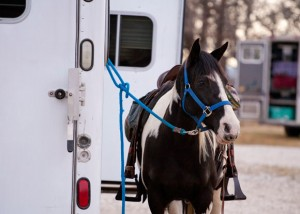 TIED UP - A rider's horse waits to hit the trail at Field Trial Saturday at the Valley View group camp. Messenger photo by Jimmy Alford