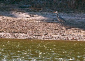 WALKING ALONG THE SHORE - A crane cautiously walks near the water's edge. Messenger photo by Jimmy Alford