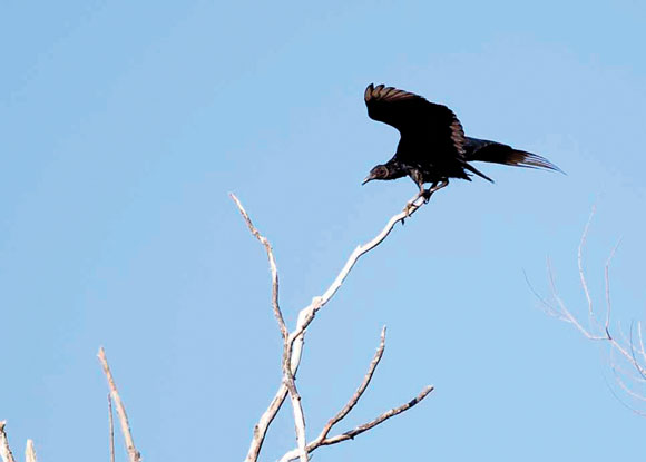 WINGSPAN - A buzzard (black vulture) spreads its wings while sitting atop a bare-topped tree. Messenger photo by Jimmy Alford