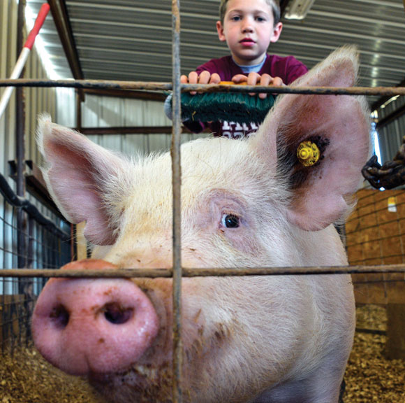 PIG PEN - Cale Laaser brushes his pig every day. With a name like Manziel, he hopes his pig earns a prize like it's Heisman winning namesake. Messenger photo by Joe Duty