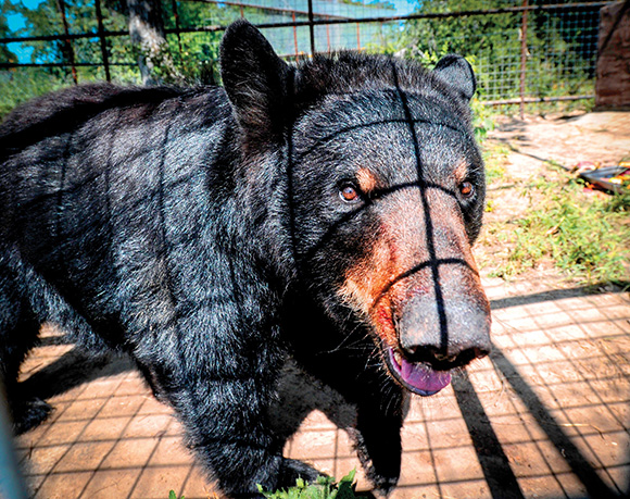 MEET THE NEW NEIGHBORS - Sarah, a 26-year-old American black bear, greets visitors Tuesday at the International Exotic Animal Sanctuary near Boyd.