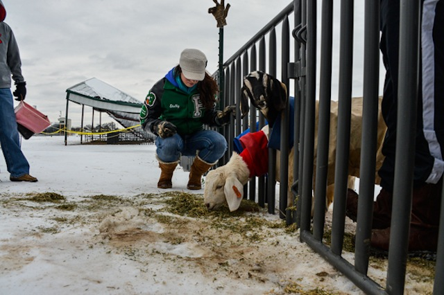 Shelby Bradshaw feeds goats rescued from a collapsed animal barn at Boyd High School Friday. Photo by Joe Duty.