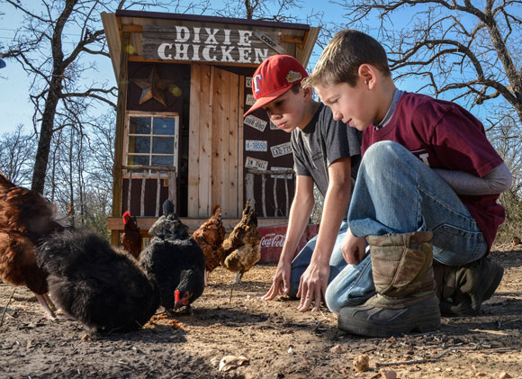 HOME TO ROOST - Feeding chickens is a daily deal for Cale Laaser, 9, and his older brother Thaine, 13, as the pair prepare for Wise County Youth Fair. Messenger photo by Joe Duty